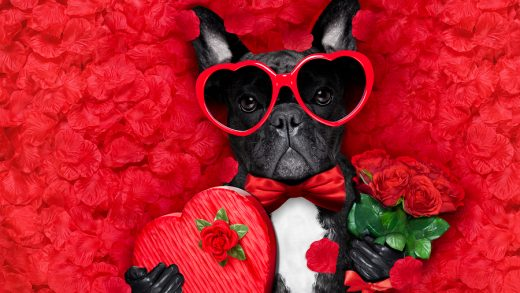 valentines french bulldog dog in love holding a cupids arrow with mouth wearing sunglasseslying on bed of red flower petals with gift box and roses